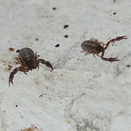 Pseudoscorpion Thumb